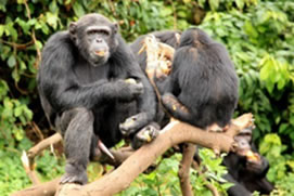 Chimpanzee Tracking in Nyungwe National Park