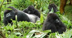 gorilla home