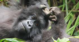 gorilla lying