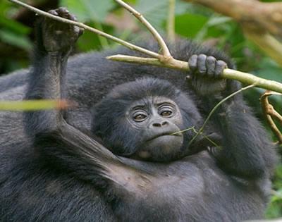 1 Day Gorilla Trekking Congo