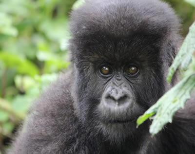 4 Days Gorilla Tour Rwanda