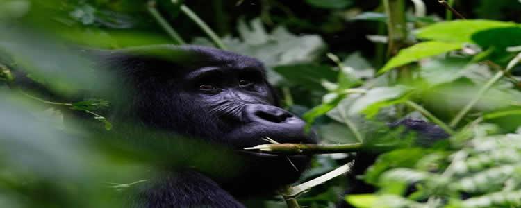 8 Days Uganda Rwanda Gorilla Tour