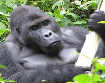 2 Days Congo Gorilla Trekking