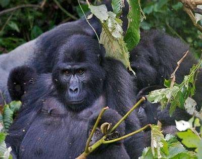 12 Days Rwanda Uganda Gorilla Trekking Safari