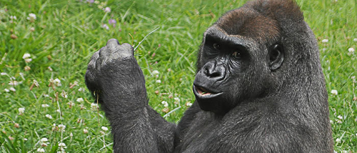 6 Days Congo Gorilla Tour
