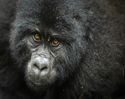 4 Days Gorilla Trekking Rwanda