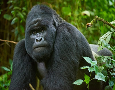 6 Days Congo Gorilla Trekking