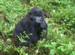 Gorilla Trek in Rwanda