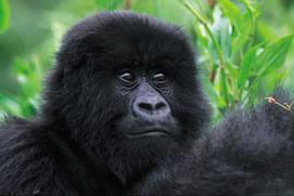 Gorilla Trek Volcano, 7 Days Rwanda Gorilla Tour
